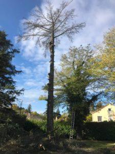 coupe branche élagueur grimpeur dans un jardin avant